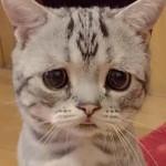 中国で今大人気の猫!リューリューちゃん